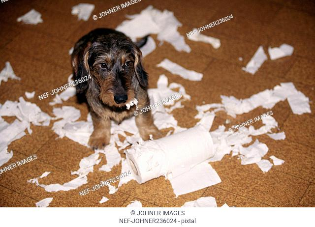 Dog eating toilet paper
