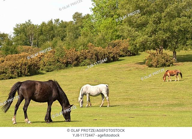 Half Wild New Forest Pony at the New Forest Wildlife Park near Lyndale, South East England