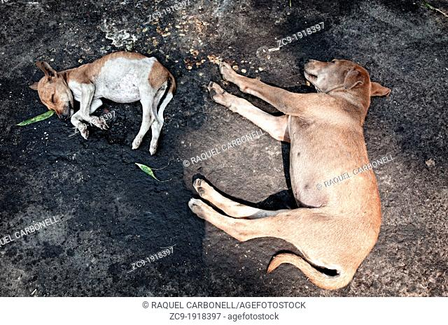 Dogs sleeping on the ground around Kalighat temple Calcutta, West Bengal, India