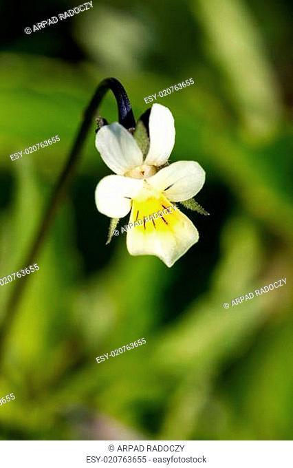 Field Pansy - Viola arvensis