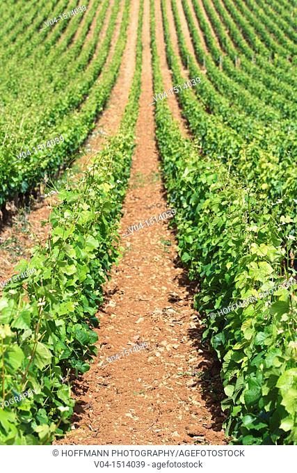 Rows of vines in Rully, Burgundy, France, Europe