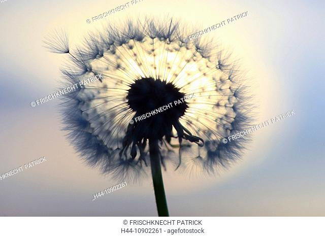 Flower, detail, flora, flight, reproduction, back light, sky, ease, light, air, dandelion, macro, close-up, plant, puff, blowball, blowing, seed, silhouette