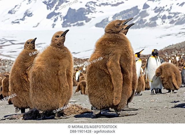 UK, South Georgia Islands, Saint Andrews Plains, King Penguin (Aptenodytes patagonicus) chicks