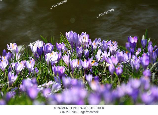 Crocus in the Spring, Husum Schlosspark, Schleswig Holstein, Germany