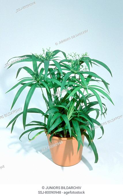 DEU, 2003: Galingale, Umbrella Grass, Dwarf Umbrella Plant (Cyperus albostriatus), potted plant, studio picture
