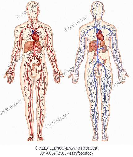 Illustration of two human figures and circulatory system, composed of arteries and veins, is fundamental to maintain life