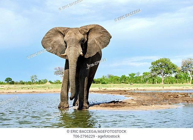 African elephant (Loxodonta africana) drinking at a watehole. Hwange National Park, Zimbabwe
