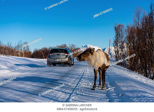 Europe, Norway, Troms, reindeer crossing road