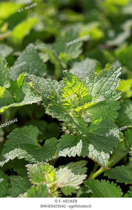 spotted dead-nettle, spotted deadnettle (Lamium maculatum), young leaves, Germany