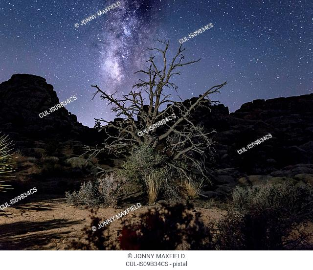 Joshua tree and starry night sky, Joshua Tree national park, California, USA