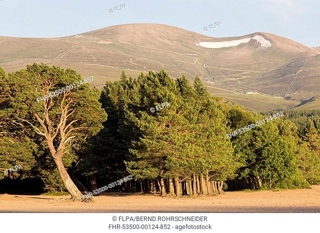 Scots Pine (Pinus sylvestris) forest habitat, growing at edge of freshwater loch, Loch Morlich, Badenoch and Strathspey, Cairngorms N.P