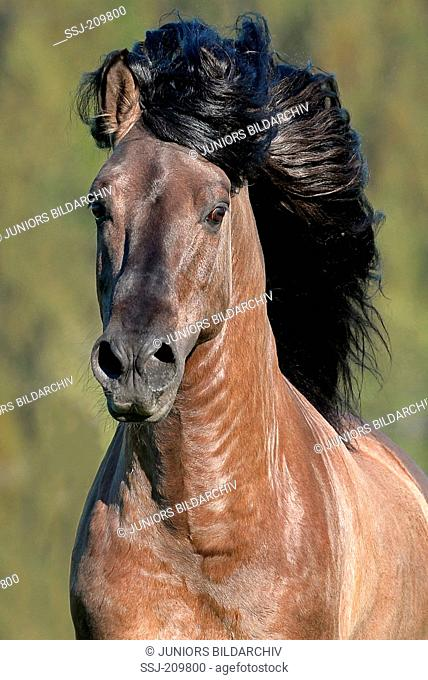 Kiger Mustang. Portrait of grullo stallion with mane flowing. Germany