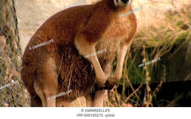 Red Kangaroo standing next to tree