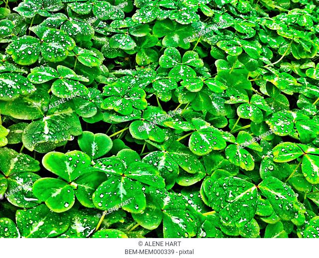 Dewdrops on clover plants