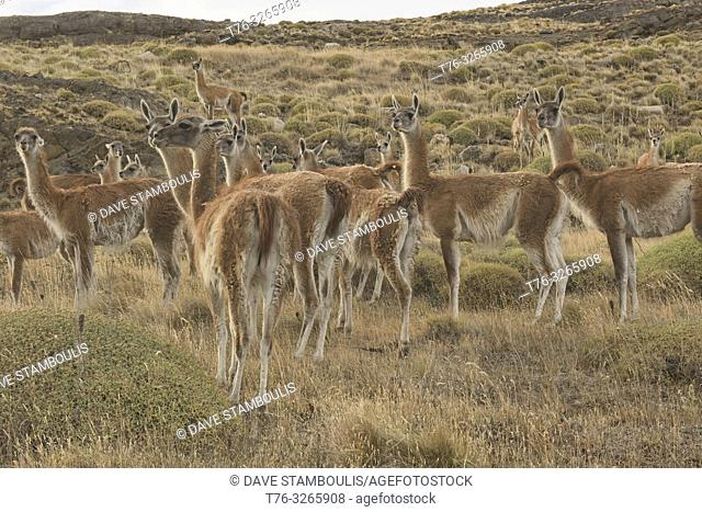 Wild guanacos in Patagonia National Park, Aysen, Patagonia, Chile