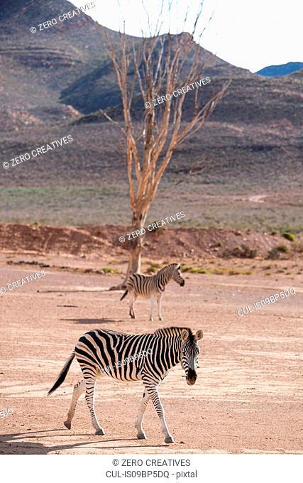 Pair of Zebra (Equus quagga), Touws River, Western Cape, South Africa