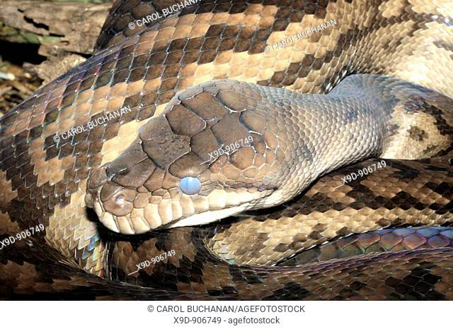 an Australian Scrub Python, these are the largest snake found in australia  It is commonly known as the Amethystine, or amythest python due to the iridescent...